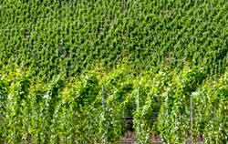 Uso del rifrattometro per vino nella vigna