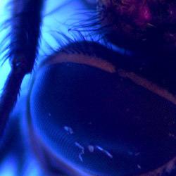 Ein Fliegenauge mit dem UV-USB-Mikroskop PCE-MM 200UV mikroskopiert